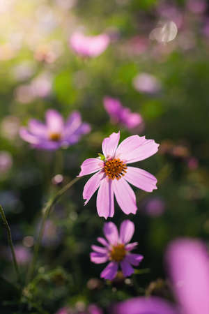 Cosmos flower Cosmos Bipinnatus with blurred background.