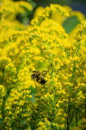 bumblebee collects flower nectar of goldenrod on a summer sunny day.