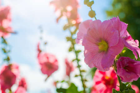 Bright crimson mallow flowers on a blurred background.