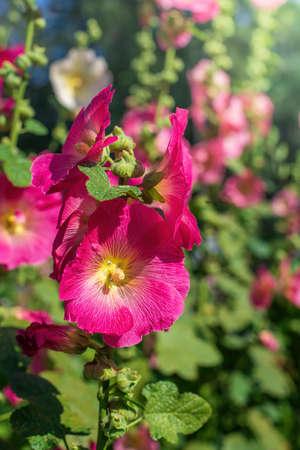 Bright crimson mallow flowers on a blurred background. 免版税图像 - 158190370