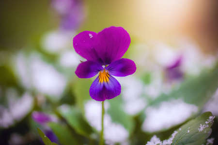 Flower of purple violet under snow in the garden in late fall close up. Banque d'images