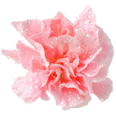 pink carnation flower in water drops close-up isolated on a white background.