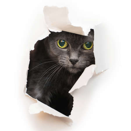 Cat looks into the torn hole isolated on a white background.