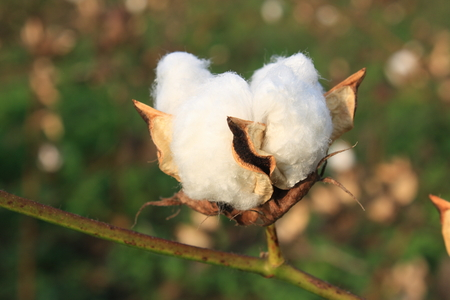 Cotton plant in the field photo