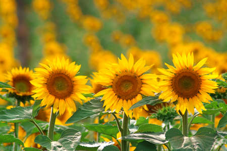 Detail of sunflowers in a field.