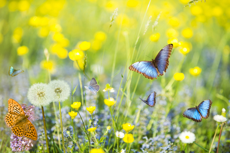 beautiful tropical blue butterflies fly free in a flowery and sunny meadow
