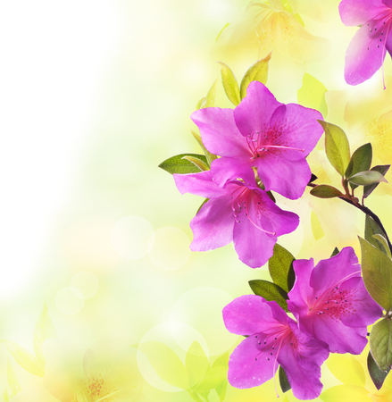 beautiful branch of azalea in bloom in spring with purple flowers isolated from the background Reklamní fotografie