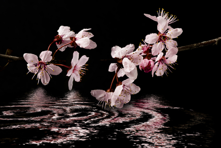 awakening of spring, flowery branch with beautiful pink buds are reflected in a mirror of water Reklamní fotografie