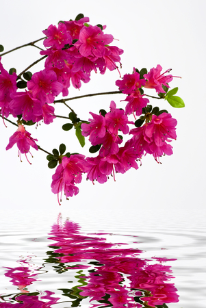 awakening of spring, flowery branch with beautiful pink buds are reflected in a mirror of water Imagens