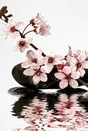 awakening of spring, flowery branch with beautiful pink buds are reflected in a mirror of water Stock Photo