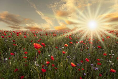 red poppies in a sunny field at dawn with spring bloom