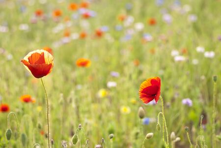 closeup of red poppy in a sunny field with spring bloom Imagens