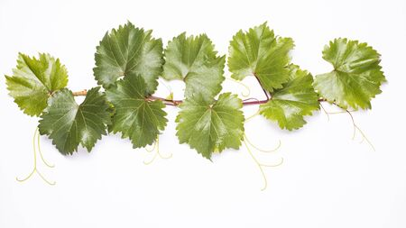 growing twig of vine with green and healthy leaves on the white background Stock fotó