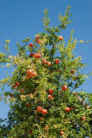 Pomegranate tree in blue sky background Stock Photo