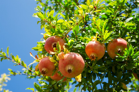 Pomegranate against blue sky background 版權商用圖片 - 48196219