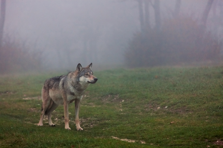Wolf standing in a field in autumn Stock Photo