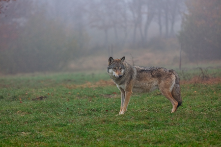 European wolf in a foggy woods