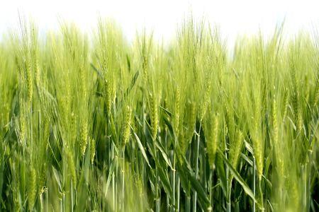 a field of wheat still green