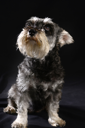 havanese: Cute Havanese dog against black background. Stock Photo