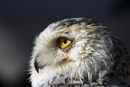 closeup of the head of a Snowy owl taken in the medieval market of alcala de henares  photo