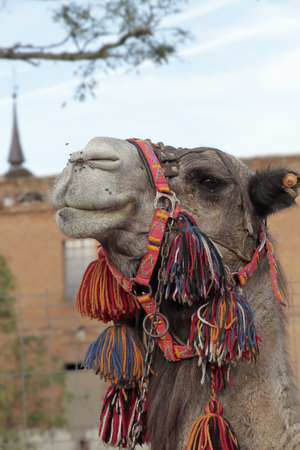 during: outdoor cute camel during the celebration of a medieval festival