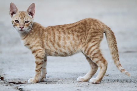 horizontal view of a cinnamon color cat