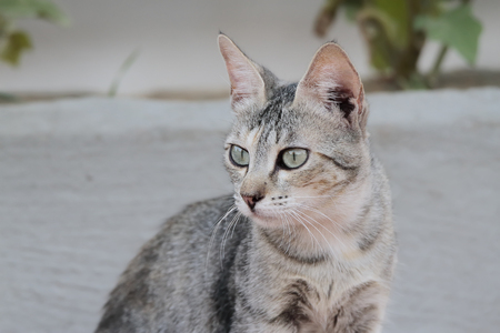 portrait in horizontal view of a dun cat