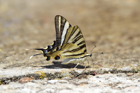 picture of a podalirio butterfly (Iphiclides podalirius) perched on the floor