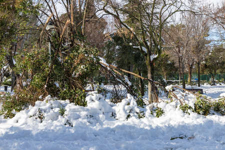 winter scene with trees and fallen branches for the weight of snow in O'Donnel park of alcala de henares on a sunny day after a snowfall