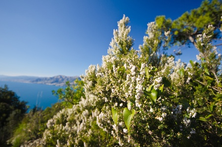 Blooming heather in spring season. Wide angle shot. The coastline is visible. photo