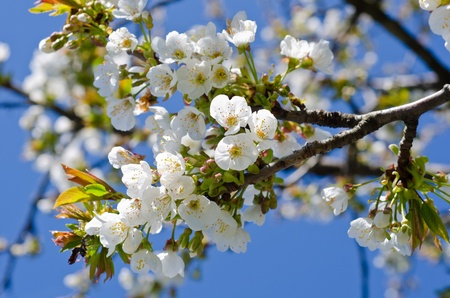 cherry flowers on a branch in a fresh spring morning photo