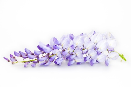 studio shot of a wisteria isolated on white background