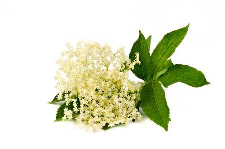 personnes �g�es: fleur a�n� isol� sur fond blanc