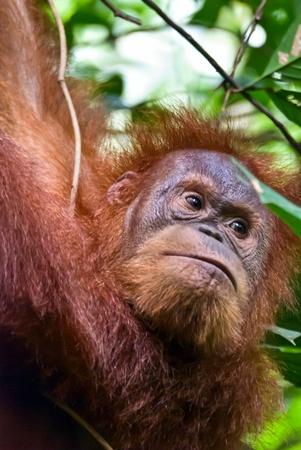 bukit: Female orang outang in the jungle near Bukit lawang, Sumatra, Indonesia.