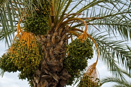 dates on a palm tree, detail photo