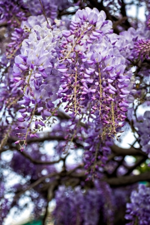 wisteria: blooming wisteria flowers