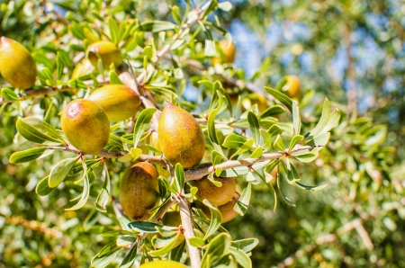 argan fresh fruits on a branch