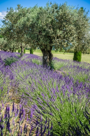 vibrant lavender blooming In Provence, france photo