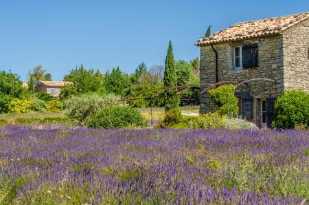 フィールド プロヴァンス、フランスの花咲くラベンダー