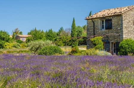 blooming lavender in a field  Provence, France  Stock Photo