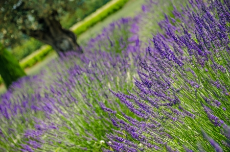 Blooming plants of lavander in Provence, France  photo