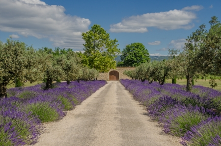 lavender and olive tree in a row, Provence, France