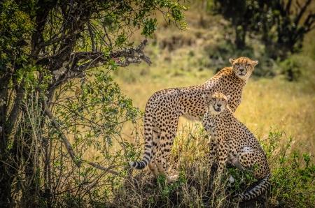 Cheetah in de savanne