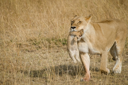 lioness: liones carring her cub in the mouth