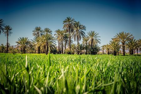 Green plantation of palm tree