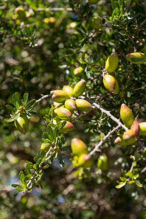 argan: Branch of argan tree full of fresh and green fruits. Argan fruits are used for cosmetical products Stock Photo