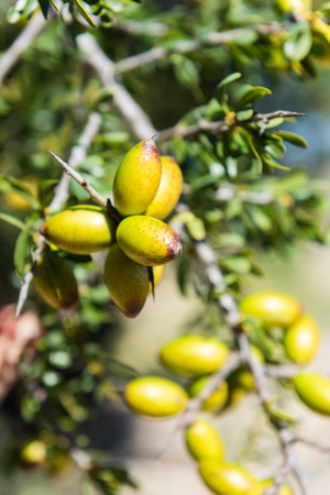 Branch of argan tree full of fresh and green fruits. Argan fruits are used for cosmetical products Stock Photo