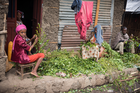unlawful: ROAD TO LALIBELA, ETHIOPIA - AUGUST 23, 2015: Unidentified person work in a khat farm. Chewing khat is legal in Ethiopia and the leave of the trees are exported especially in arabian countries. Editorial