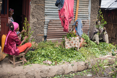 exported: ROAD TO LALIBELA, ETHIOPIA - AUGUST 23, 2015: Unidentified person work in a khat farm. Chewing khat is legal in Ethiopia and the leave of the trees are exported especially in arabian countries. Editorial