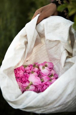 Harvesting the damaschena rose in Kalaat M'Gouna, Morocco